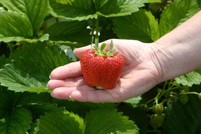 biggest strawberry
