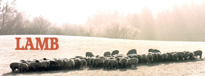 misty morning lamb