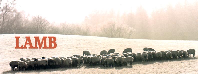 misty morning lamb